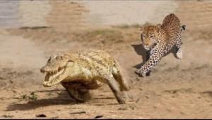 Video: Amazing Jaguar Compilation - Big Cats of South America